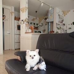 ナチュラルインテリア/人形/チワワ/ペット/犬 愛犬チロルが最近お気に入りのオモチャは、…