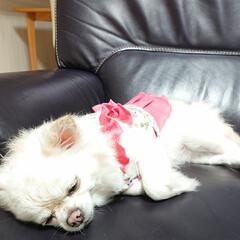 お疲れ/洋服/チロル/夏模様 今日はチロルお風呂の日~ ピンクの洋服は…