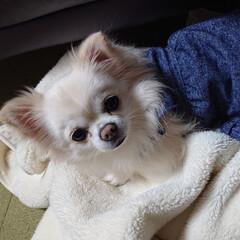 ブランケット/冬/ペット/犬 愛犬チロルはソファーの上に置いたブランケ…