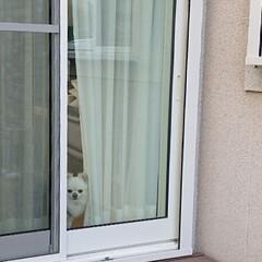 視線/チロル/ペット/犬/うちの子ベストショット 昨日暖かかったので、お庭のガーデニングを…