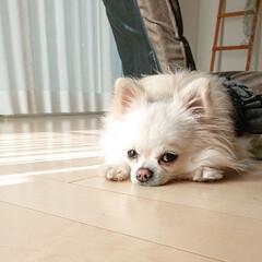 床暖房/チワワ/ペット/犬 昨日のチロルです😁 床暖房に張り付いて動…