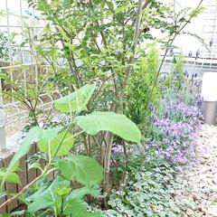 ガーデニング/お庭/芝桜/ラベンダー/平成最後の一枚 去年植えた芝桜が綺麗に咲きました👍 ラベ…