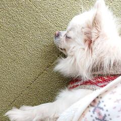 床暖房/チワワ/冬/ペット/犬 冬の朝から夕方まで床暖房をつける我が家。…