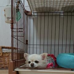 ケージまわり/愛犬/ペット/チロル/うちの子ベストショット 愛犬チロルは、何故かトイレでまったりしま…