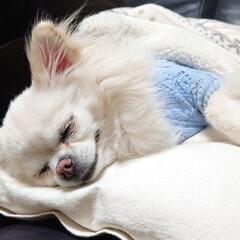 チワワ/イビキ/ペット/犬/おやすみショット 昨日のチロルです♪昨日は家族皆が揃ってい…