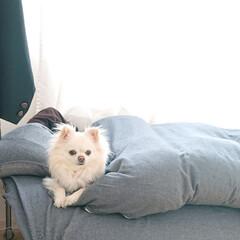 ベッド/チロル/LIMIAペット同好会/ペット/犬/うちの子ベストショット 今朝息子の部屋にチロルを二度寝で連れてい…