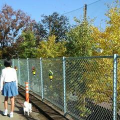 イチョウ/散歩/ペット/犬/秋 娘とチロルと近所のお散歩しました♪いちょ…