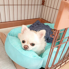 ペット/ベッド/チロル/夏模様 夏になるとチロルにはひんやりベッドを出し…