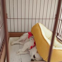 ペット/チロル/ベッド/みんなにおすすめ 愛犬チロルが夏に使うベッドは、冷たいベッ…