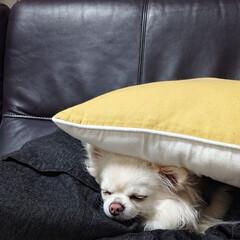 寝る/チワワ/チロル/ペット/犬/おやすみショット 旦那さんの洋服とクッションにサンドイッチ…