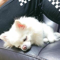 リラックス/チワワ/チロル 息子の足の下で寝てしまったチロルです♪ …