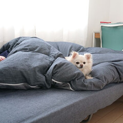 ニトリのシーツ/息子の部屋/チロル/ペット/犬/うちの子ベストショット チロルは朝起きてご飯食べたら、息子のお部…