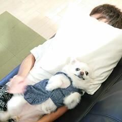 チワワ/ペット/お昼寝/チロル/夏模様 息子がお昼寝しようとソファーにごろんとす…