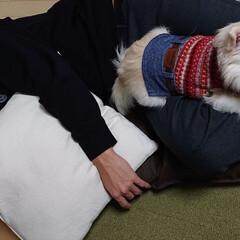 息子昼寝/チワワ/ペット/犬 高3息子が学校から帰って来たら直ぐ昼寝し…(1枚目)