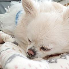 お昼寝/ブランケット/チロル/ペット/犬/おやすみショット ブランケットも白で、チロルも白いからたま…