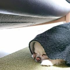 床暖房/チワワ/ペット/犬 最近床暖房をつけてるので、愛犬チロルは床…