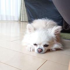 床暖房/チロル/チワワ/犬/ペット ただ今のチロルです😁 床暖房にはりついて…