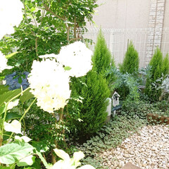 シマトネリコ/ガーデニング初心者/お庭/ミモザ/アナベル/100均 お庭のアナベルが沢山咲きました🙌 今年は…