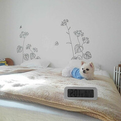 寝室/チワワ/チロル/ニトリ/デジタル時計/ペット/... 今日ニトリで時計を買ってきました♪ 時計…