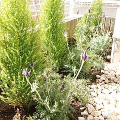 お庭/ラベンダー/ゴールドクエスト/春の一枚 お庭にラベンダーを植えました🎶 暖かくな…