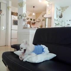 ナチュラルインテリア/ソファー/カリモク/チワワ/ペット 我が家の愛犬はソファーが大好きです(*^…