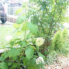 梅雨入り/お庭/アナベル/令和元年フォト投稿キャンペーン 去年植えたアナベルが、沢山咲きました。 …