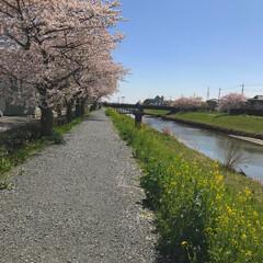 花見/菜の花/桜 桜と菜の花コラボ🌸 昨日は風が強かったか…