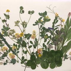押し花アート/春のフォト投稿キャンペーン/至福のひととき/ハンドメイド/わたしの手作り 道端で見つけた草花で押し花をしました(o…