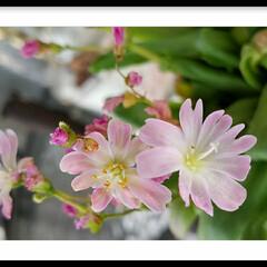ピンク/花/グリーン レウィシア(スベリヒユ科)   ガウラの…