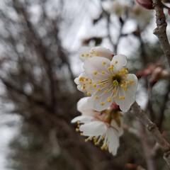 花/桜/花好き/椿 散歩道🎵🐩🚶♀️  少しぼやけてるね(…