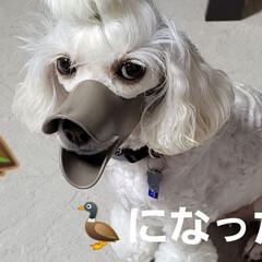 舐めれない/犬がアヒルに/みるく/ワンコの口に/アヒル口/モノトーン/... こんにちは✨😃 段々風も強くなって来てま…(2枚目)