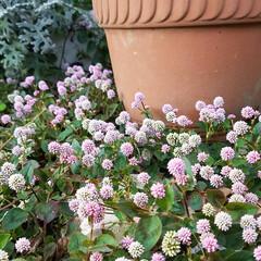 庭/花/ガーデン/多肉植物 お庭の花達💠