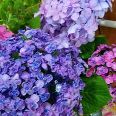 花のある暮らし/紫陽花/梅雨/おしゃれ/暮らし/梅雨対策/... 変わった紫陽花見つけました☝ なんとこの…(5枚目)