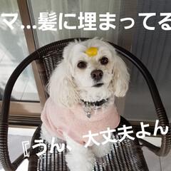 わんこのいる暮らし/犬の隠し芸/犬のいる生活/隠し芸/みるく/ワンコの芸 みるくのー☝ 新春🎵隠し芸~第二段(*´…(6枚目)