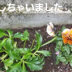 ミルク/みるく/庭/ガーデニング/クリスマスローズ/ナチュラル/... クリスマスローズ🥀の手入れに…  私がお…(3枚目)