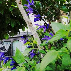 鮮やかカラー/庭/花のある暮らし/はな/ガーデン/暮らし/... 庭が、鮮やかになりました💠🌼🥀🌿(7枚目)