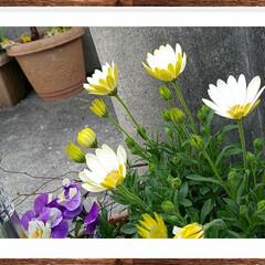 黄色/花/グリーン/花壇 この花可愛いと思いませんか⁉(花名オステ…