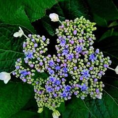 青系/ブルー/花/額紫陽花/ガーデン/紫陽花/...  紫陽花  額紫陽花になるのかなぁ(・・?