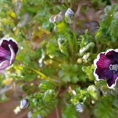 春/ガーデン/犬のいる暮らし/庭の花/LIMIAFESTA/住まい/... 庭の蕾が(*^^*)🌻咲きました。:+(…