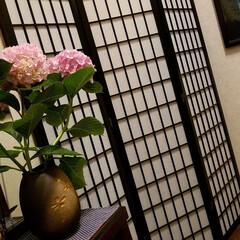紫陽花/わんこのいる暮らし/季節インテリア/梅雨/梅雨対策/玄関あるある/... 玄関のお出迎えの華 庭の紫陽花を玄関に飾…(1枚目)