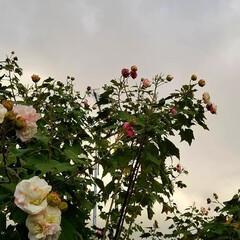 ガーデン/花木/庭の花木/酔芙蓉/芙蓉/花/... もう芙蓉も終わりに近づいてきたかなぁ🌳🌺…