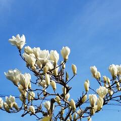 木蓮/庭木/フォロー大歓迎/風景/住まい/小さい春 春ですね~🌼 庭の木蓮(白)が、咲き始め…