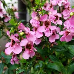 金柑の花/みるく/パッションフルーツの実/パッションフルーツ/庭の花/神様トンボ/... みるくに🤫内緒で育ててましたが、 先日……(7枚目)