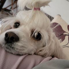 みるく/お疲れ/ワンコのいる暮らし/犬のいる暮らし/お散歩/夕焼け/... 今日は、午後からみるくと数時間ソファーで…(1枚目)