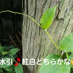 花のある暮らし/jasmine/山野草/多肉/花/テラス/... テラスのアラビアンジャスミンが、咲き始め…(4枚目)