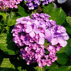 花のある暮らし/紫陽花/梅雨/おしゃれ/暮らし/梅雨対策/... 変わった紫陽花見つけました☝ なんとこの…(6枚目)