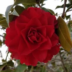 つばき/さざんか/散歩道/お出かけ/ピンク/暮らし 🐩🚶♀️お散歩に出逢った花達🌼Ⅱ  先…(6枚目)