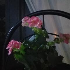花/夜バージョン/テラス/ジャスミン/jasmine/はな/... 私の梅雨時のアイテムと言えば💠~☝ テラ…(4枚目)