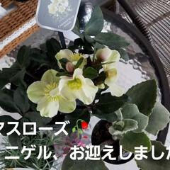 ニゲル/ガーデン/ガーデニング/庭の花/癒し/パンジー/... 新しい子お迎えしました。:+((*´艸`…