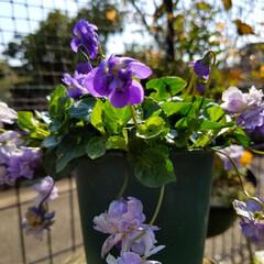 花の生活/庭の花/春の一枚/フォロー大歓迎/風景/花景色/... 庭の花達 Ⅰ  春の花達が、楽しそうに咲…(4枚目)